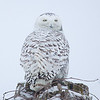 Snowy Owl Perched 5