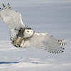 Snowy Owl Flying 5