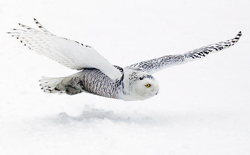 Snowy Owl Flying Across Snow Covered Farm Field 2