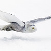 Snowy Owl Flying Across Snow Covered Farm Field 2