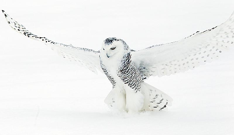 Snowy Owl Striking