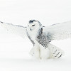 Snowy Owl Striking