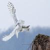 Snowy Owl Landing 2