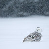 Snowy Owl Sitting in Snow