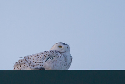 Snowy Owl - Superior, WI, USA