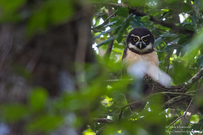 Spectacled Owl - Blanchiseusse Rd, Trinidad