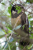 Spectacled Owl - Record - El Valle, Pananma