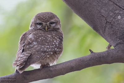 Spotted Owlet - Sultanpur Bird Sanctuary, Haryana, India