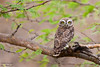 Spotted Owlet - Kutch, Gujrat, India