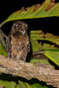 Tawny-bellied Screech-Owl - Amazonia Lodge, Manu Biosphere Preserve, Peru