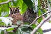Tropical Screech-Owl - Amazon, Ecuador