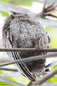 Tropical Screech-Owl - Record - Caroni, Trinidad