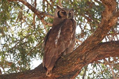 Verreaux's Giant Eagle-owl