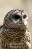 Owl, barred , (Strix varia)