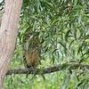 buffy fish owl (Ketupa ketupu)