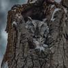 Easter Screech-Owl