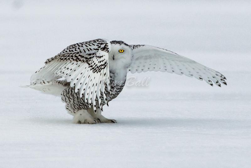 snowy owl: Bubo scandiacus, juvenile: immature, Wall Road<br /> Peak-a-Whoo