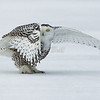 snowy owl: Bubo scandiacus, juvenile: immature, Wall Road<br /> Peak-a-Whoo