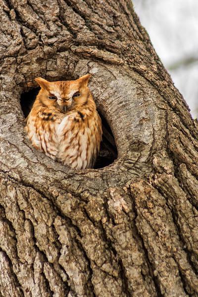 3-10-2015 Little Brown Owl 42 SM
