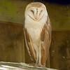 Barn Owl_SS141796