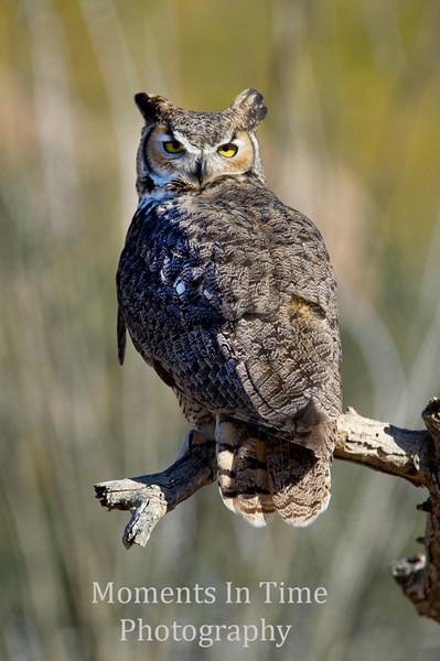 Owl great horned (Bubo virginianus)