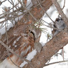 Amherst Island, northern saw-whet owl: Aegolius acadicus