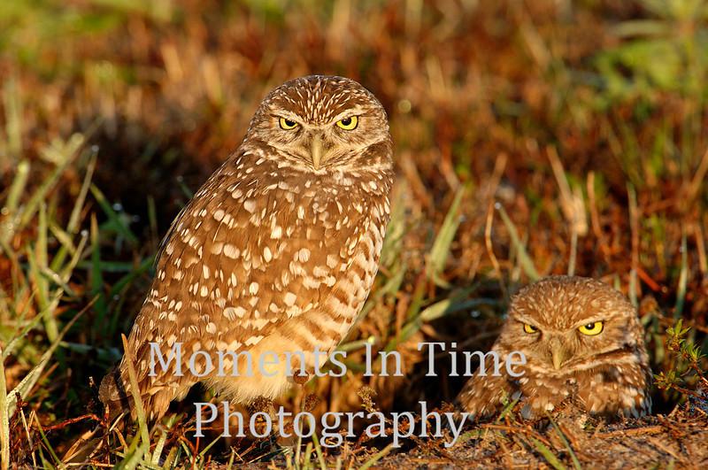 Owl pair at dawn