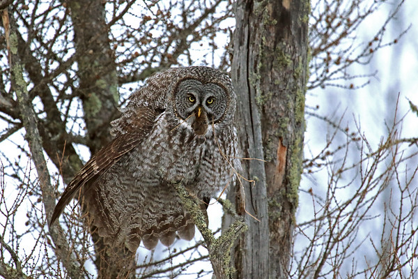 Great Grey Owl With Breakfast #3 (Strix nebulosa)