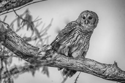 Barred owl in monochrome