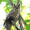 Great Horned Owl with prey