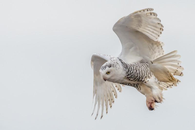 Snowy Owl,
