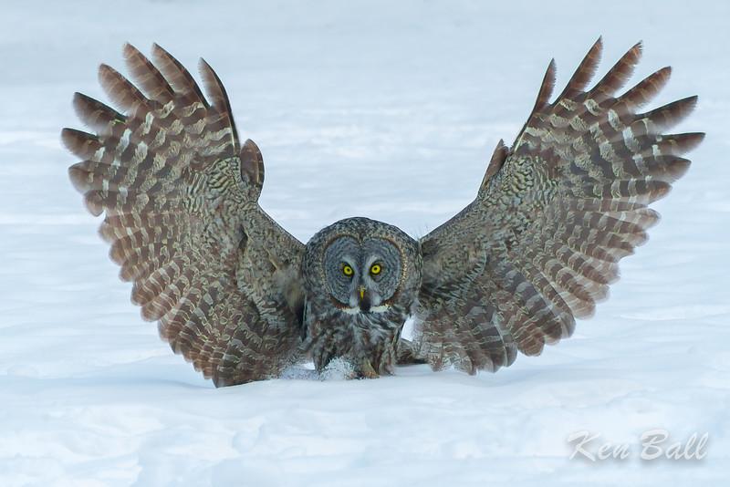 great gray owl: Strix nebulosa, Green's Creek