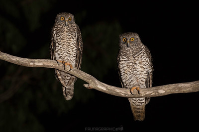 Powerful Owls