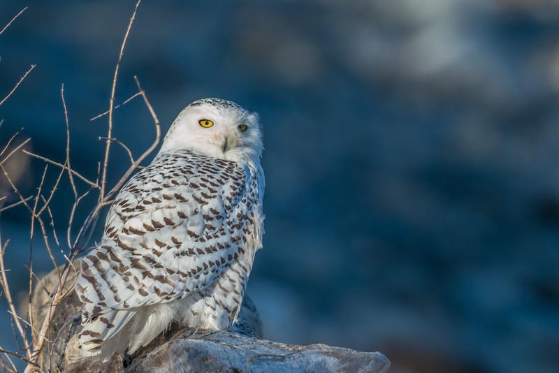 Snowy Owl, Rye NH