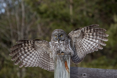 3-13-2017 Great Gray Owl 1103 SM