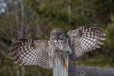 3-13-2017 Great Gray Owl 1103 SM