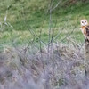 Aves, barn owl: Tyto alba
