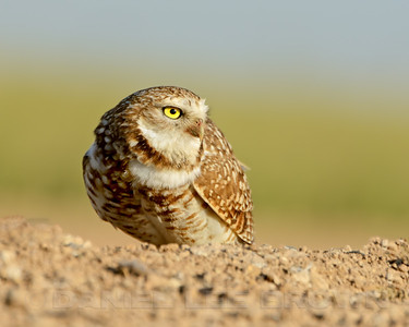 Burrowing Owl, Imperial co, CA, 4-23-14. Cropped image.