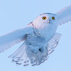 Earl Armstrong Road, snowy owl: Bubo scandiacus