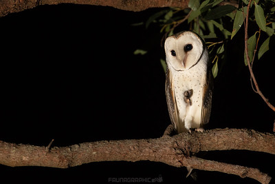 Eastern Barn Owl