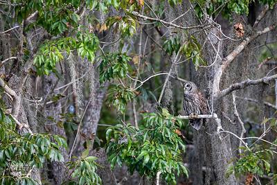 Barred owl environmental