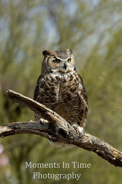 Great horned owl on branch v