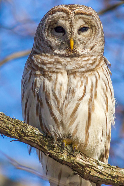 Barred Owl, Amherst Island, Ontario