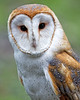 Tyto alba<br /> Captive Barn Owl at the Sulphur Creek Nature Center in Hayward, CA