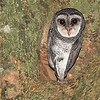 Lesser Sooty Owl - Adult
