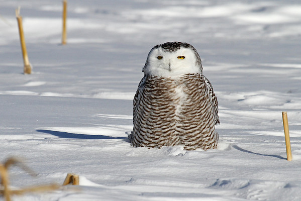 Snowy Owl (Nyctea scandiaca)