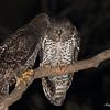 Powerful Owl Pair preening