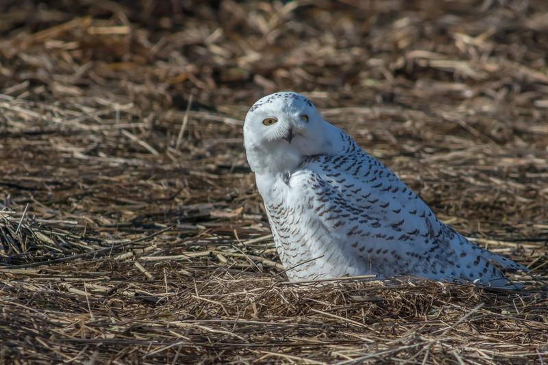 Snowy owls at Salisbury Marsh