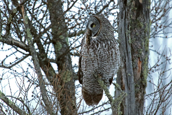 Great Grey Owl With Breakfast #1 (Strix nebulosa)