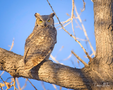 Great Horned Owl in the morning sun.
